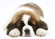 Sleeping Baby Animal Posters - Saint Bernard Puppy Sleeping Poster by Mark Taylor