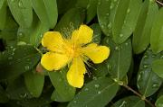 Saint John Posters - Saint Johns Wort Flower And Foliage Poster by Todd Gipstein