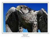 Talon Digital Art Posters - Saker Falcon Poster by Owen Bell