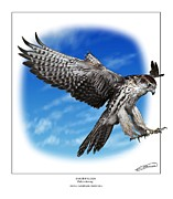 Talon Digital Art Posters - Saker Falcon stooping Poster by Owen Bell