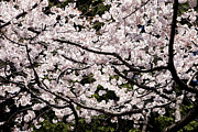 Cherry Blossoms Photo Originals - Sakura by Tad Kanazaki