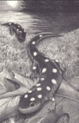 Night Scenes Drawings Prints - Salamander Print by Jennifer Harper