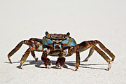 Sea Life Posters - Sally Lightfoot Crab Poster by Christopher Kimmel