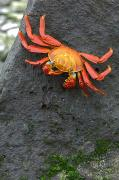 Chromatic Photo Prints - Sally Lightfoot Crab, Grapsus Grapsus Print by Tim Laman