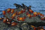 Frontal Metal Prints - Sally Lightfoot Crab Grapsus Grapsus Metal Print by Tui De Roy