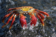 Sally Lightfoot Crab In Water Print by Sami Sarkis