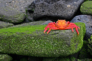 Moss Green Prints - Sally Lightfoot Crab Print by Matt Tilghman