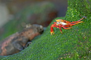 Espanola Framed Prints - Sally Lightfoot Crab Framed Print by Sami Sarkis
