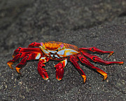 Negro Photos - Sally Lightfoot Crab by Tony Beck