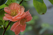 Peach Photo Originals - Salmon Blooms by Jade Dye