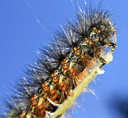 Salt Marsh Posters - Salt Marsh Caterpillar Poster by Scott Hovind