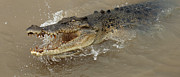 Darwin Photos - Saltwater Crocodile by Bob Christopher