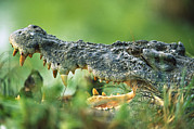 Australian Open Metal Prints - Saltwater Crocodile Crocodylus Porosus Metal Print by Cyril Ruoso