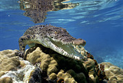 Australian Open Prints - Saltwater Crocodile Crocodylus Porosus Print by Mike Parry