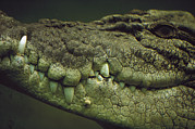 Australian Saltwater Crocodile Posters - Saltwater Crocodile Teeth Poster by Cyril Ruoso