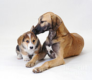 Lurcher Photo Posters - Saluki Lurcher And Corgi Puppy Poster by Jane Burton