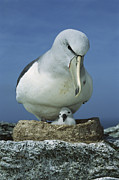 Baby Bird Prints - Salvins Albatross Thalassarche Salvini Print by Tui De Roy