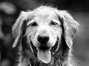 Dog Print Photo Prints - Sam Smiling Print by Julie Niemela