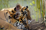 Wild Cats Photos - Samatran Tiger Cubs by Betty LaRue