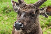 Jenny Rainbow - Sambar Deer. Horton Plains National Park. Sri Lanka