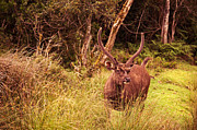 Wild Deer Prints - Sambar Deer II. Horton Plains National Park. Sri Lanka Print by Jenny Rainbow