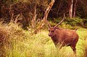 Geographic Prints - Sambar Deer III. Horton Plains National Park. Sri Lanka Print by Jenny Rainbow
