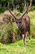 Horton Prints - Sambar Deer IV. Horton Plains National Park. Sri Lanka Print by Jenny Rainbow