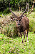 Horton Prints - Sambar Deer V. Horton Plains National Park. Sri Lanka Print by Jenny Rainbow