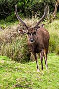 Jenny Rainbow - Sambar Deer V. Horton Plains National Park. Sri Lanka