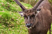 Jenny Rainbow - Sambar Deer VII. Horton Plains National Park. Sri Lanka