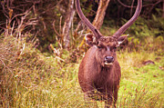 Horton Posters - Sambar Deer.VI Horton Plains National Park. Sri Lanka Poster by Jenny Rainbow