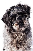 Schnauzer Puppy Prints - Sammy Print by Larry Ricker
