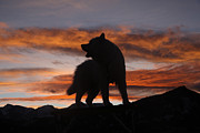 Canid Prints - Samoyed at Sunset Print by Kent Dannen and Photo Researchers