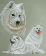 Purebred Drawings - Samoyed by Barbara Keith
