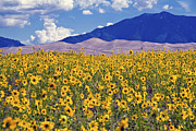 Great Sand Dunes National Preserve Posters - San Dunes Sunflowers Poster by Scotts Scapes