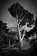 Matt Trimble Prints - San Francisco Tree Print by Matt  Trimble