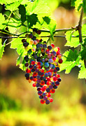 Grapes Digital Art Prints - San Giovese Print by John Galbo