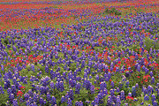 Bluebonnet Wildflowers Posters - Sand Bluebonnet And Paintbrush Poster by Tim Fitzharris
