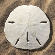Sea Shell Art Metal Prints - Sand Dollar Metal Print by Mike McGlothlen