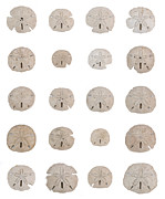 Large Scale Posters - Sand dollar sea shell collage in grid pattern over white Poster by Adam Long