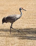 Sand Hill Photo Posters - Sand Hill Cranes Poster by Thomas Marchessault