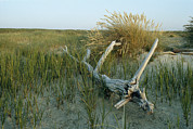 Refuges And Reserves Posters - Sand Marsh Grasses And Driftwood Poster by Norbert Rosing