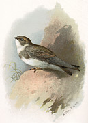 Bird Drawing Posters - Sand Martin, Historical Artwork Poster by Sheila Terry
