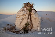 Featured Acrylic Prints - Sand Pedestal With Yucca Acrylic Print by Greg Dimijian