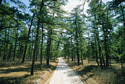 Fir Trees Posters - Sand Road Through The Pine Barrens, New Poster by Skip Brown
