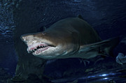 In Teeth Prints - Sand Tiger Shark, Blue Zoo Aquarium Print by Mathieu Meur