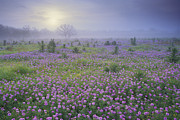 Nyctaginaceae Posters - Sand Verbena Flower Field At Sunrise Poster by Tim Fitzharris