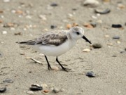 Birding Photos - Sanderling by Al Powell Photography USA