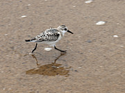 Hatches Harbor Prints - Sanderling bird Print by Daniela Kriva
