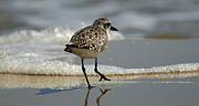 Colorful Bird Posters - Sanderling Gulf of Mexico Poster by Bob Christopher